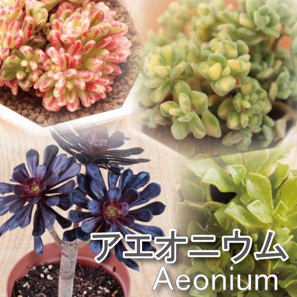 アエオニウム