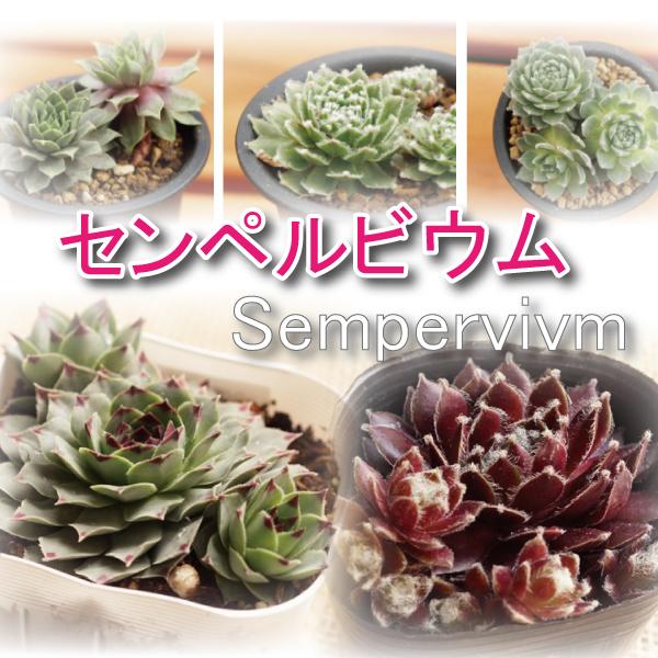 センペルビウム