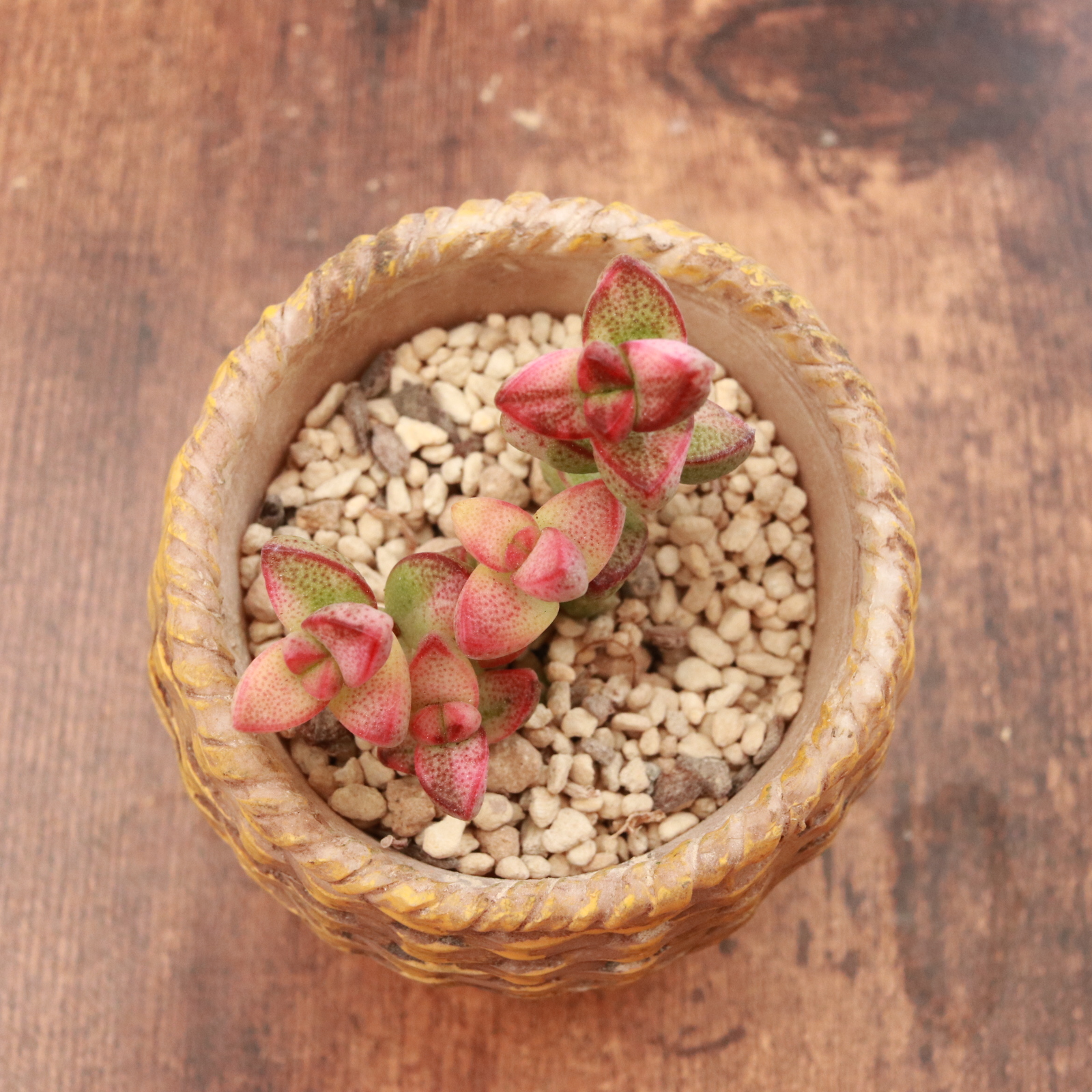 Brevifolia錦